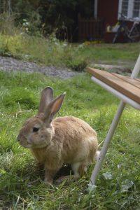 En gulbrun kanin som sitter i gräset.